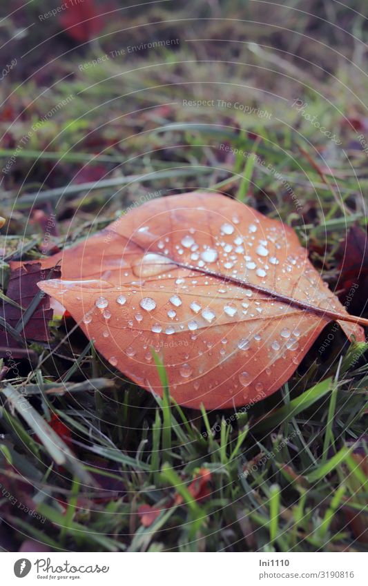 colourful leaf with drops Plant Water Drops of water Autumn Beautiful weather Grass Leaf Garden Park Brown Green Red Autumnal colours Play of colours Rain