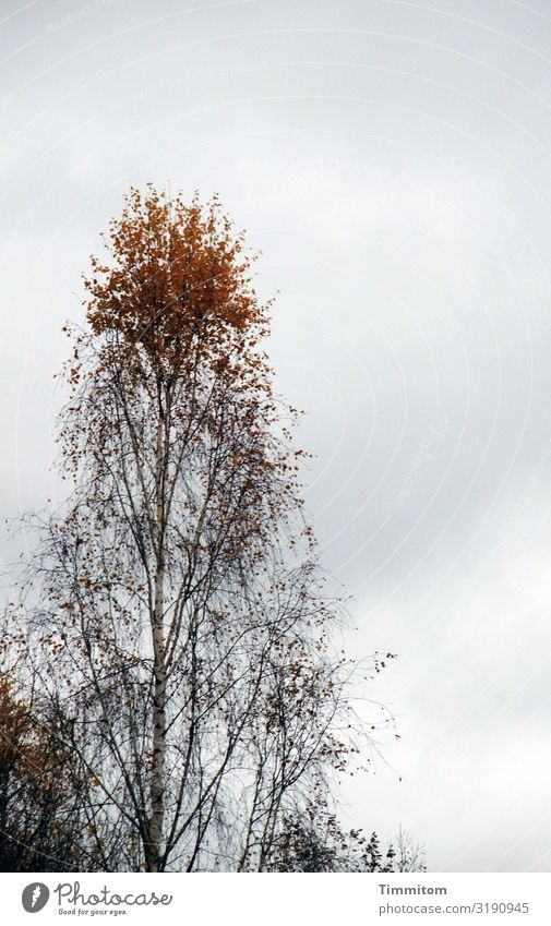 Above with Environment Nature Plant Sky Clouds Autumn Weather Tree Birch tree Leaf Outskirts Esthetic Natural Brown Gray Black Emotions Irritation Headstrong