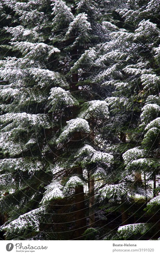 In the Black Forest it has snowed again 2 Healthy Agriculture Forestry Nature Winter Ice Frost Snow Snowfall Tree Fir tree Freeze Hang Carrying Esthetic