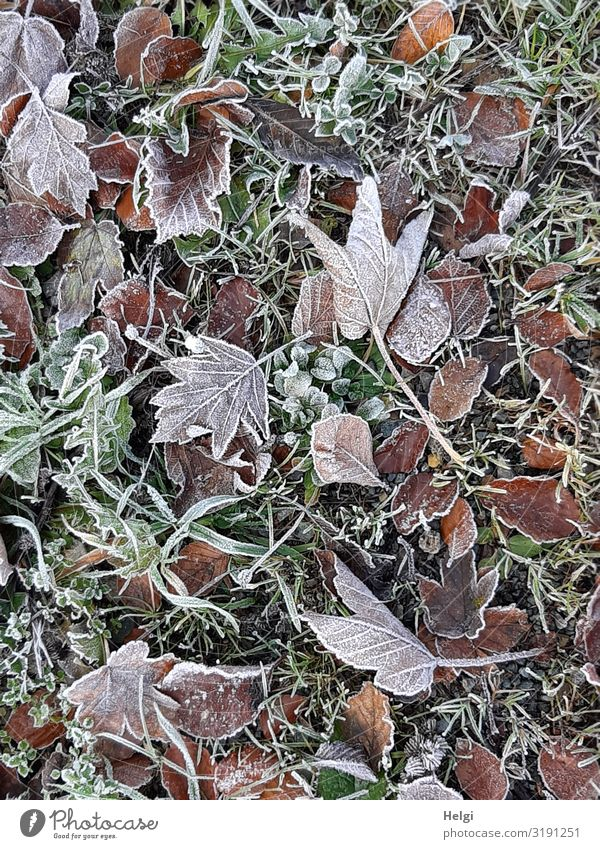 many different autumn leaves on the ground covered with hoarfrost Environment Nature Plant Autumn Ice Frost Grass Leaf Autumn leaves Meadow Freeze Lie Esthetic