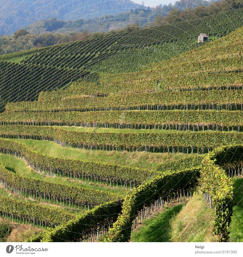 Vines in different rows at the vineyard in the Black Forest Environment Nature Landscape Plant Sunlight Beautiful weather Agricultural crop Vineyard Mountain