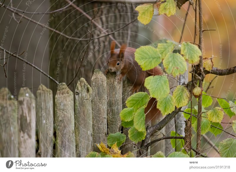 European brown squirrel Nature Animal Wild animal 1 Cuddly Soft Squirrel branch branches copy space cuddly soft cute european squirrel forest For landscape