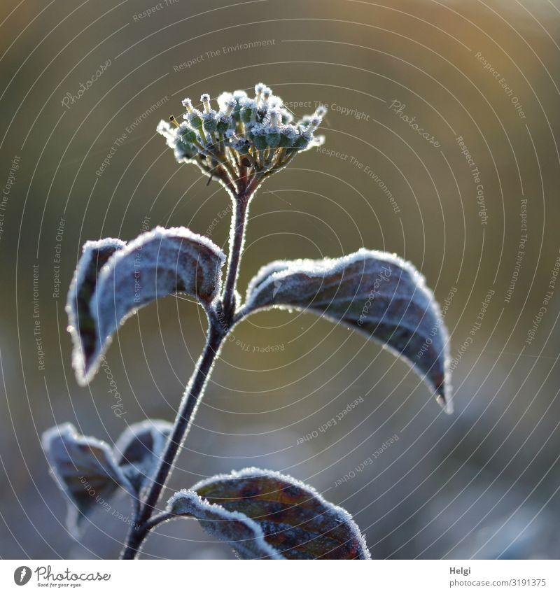 Hoarfrost on a plant with leaves and flowering in autumn Environment Nature Plant Autumn Beautiful weather Ice Frost Leaf Blossom Park Blossoming Freeze Growth