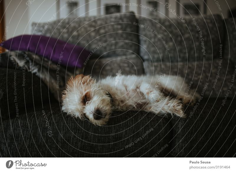 Cute dog sleeping on sofa Lifestyle Animal Pet Dog 1 Lie Sleep Friendliness Relaxation Colour photo Interior shot Deserted Copy Space top Copy Space bottom
