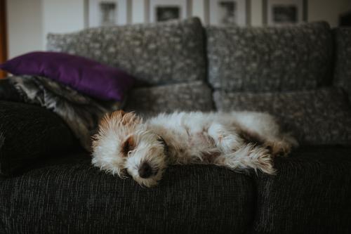 Cute dog sleeping on sofa Lifestyle Animal Pet Dog 1 Lie Sleep Friendliness Relaxation Colour photo Interior shot Deserted Copy Space top Copy Space bottom