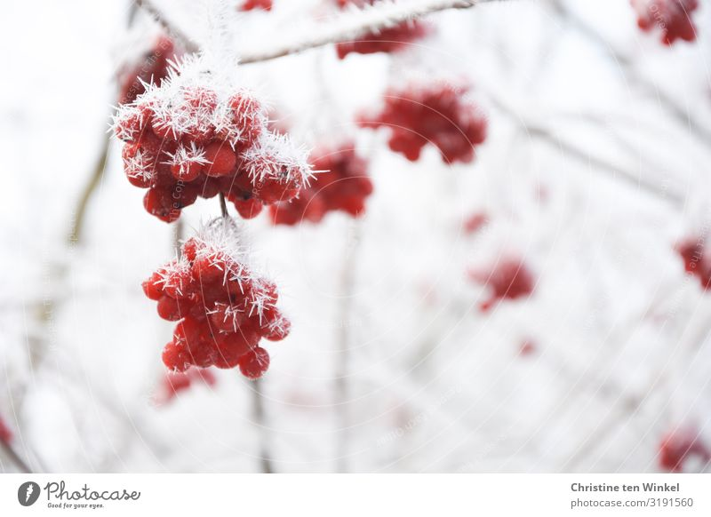 Nature Plant White Red Winter Environment Cold Natural Small Exceptional Bright Ice Esthetic Bushes Climate Round
