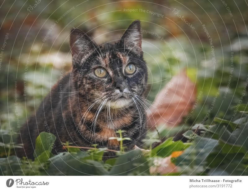 Cat in autumn leaves Nature Animal Autumn Beautiful weather Leaf Pet Animal face Pelt Head Face Eyes Ear Nose Muzzle Whisker 1 Observe Glittering Looking Near
