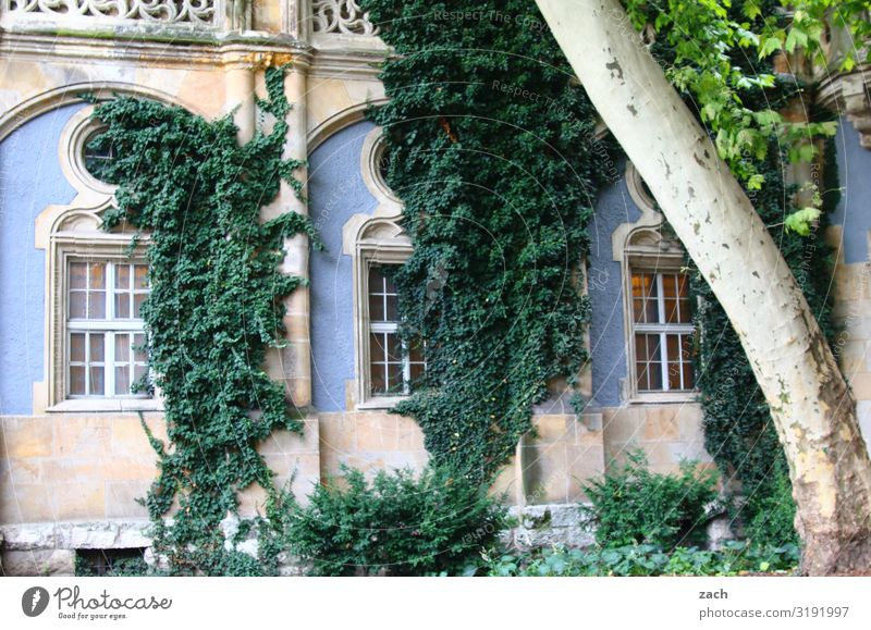 adhesion Plant Tree Bushes Ivy Leaf Foliage plant Budapest Town Capital city Palace Castle Ruin Facade Window Growth Old Historic Blue Colour photo