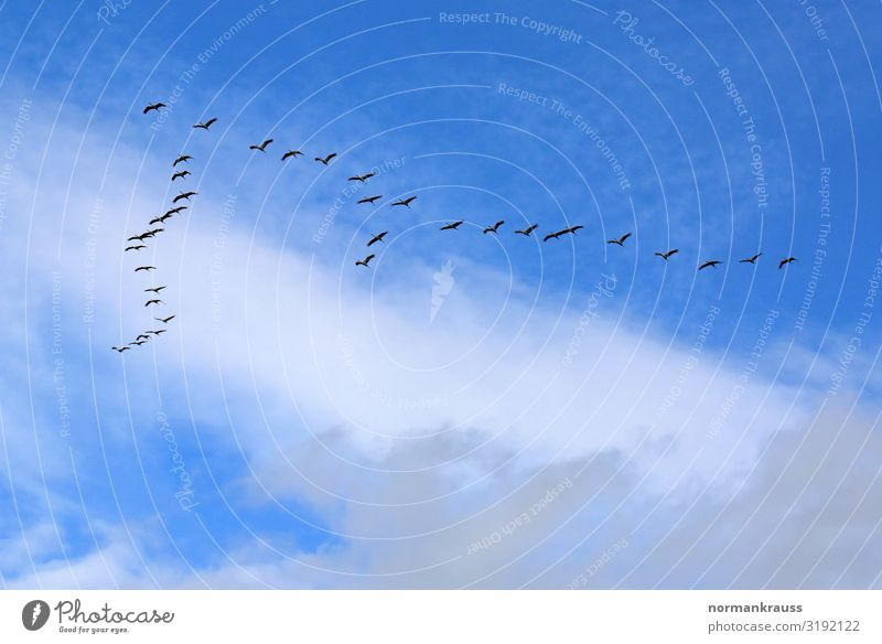migratory birds Animal Sky Clouds Autumn Wild animal Bird Flock Flying Infinity Blue Black Survive Migratory bird Group of animals Flock of birds