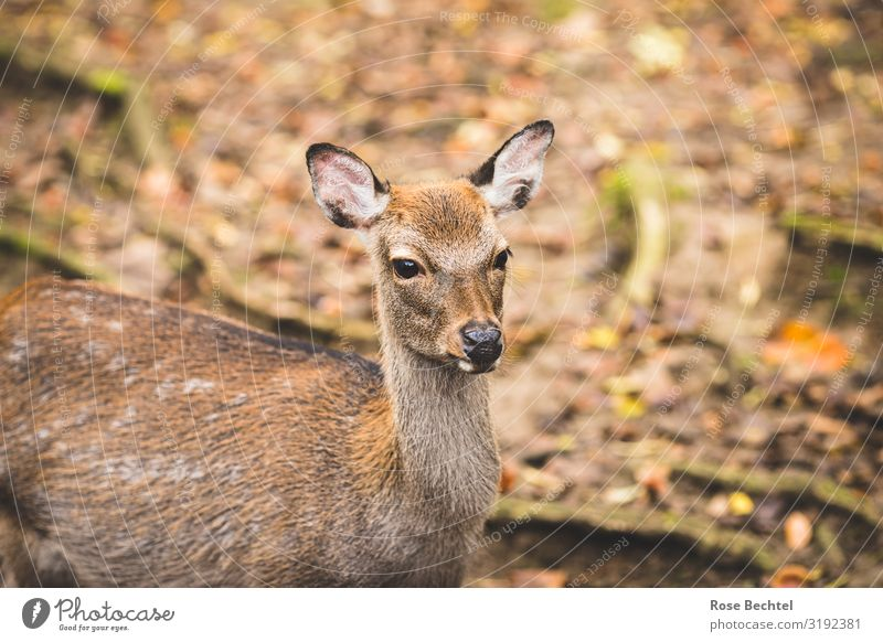 a deer Animal Wild animal Roe deer 1 Natural Cute Brown Autumn Hunting Vension Colour photo Exterior shot Deserted Copy Space left Copy Space right Day