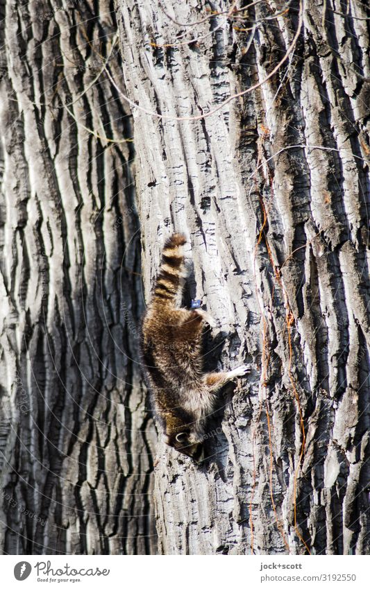 tough way down Spring Beautiful weather Tree Tree trunk Tree bark Park Berlin Marten 1 Animal Hang Crawl Authentic Firm Tall Long Cute Strong Moody Willpower