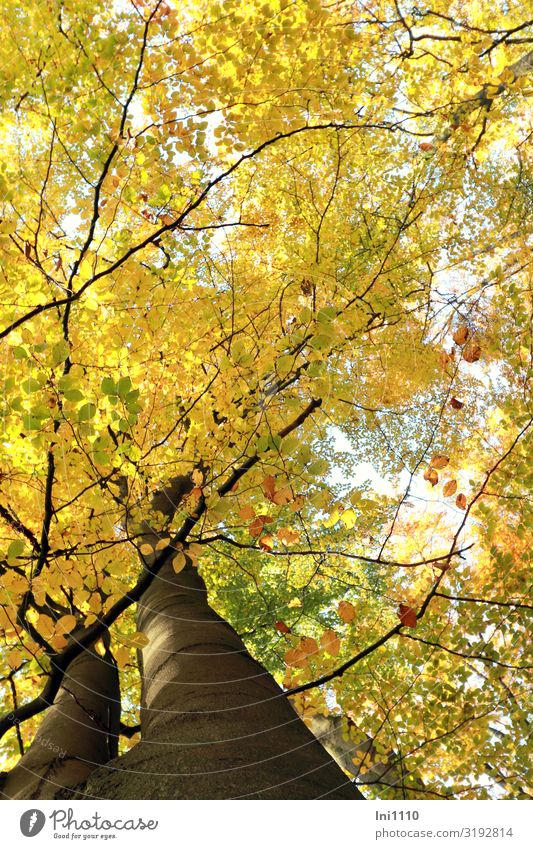 times looked up Trip Hiking Nature Plant Autumn Beautiful weather Tree Leaf Beech leaf Beech wood Forest Brown Yellow Green Black White Autumnal colours Treetop