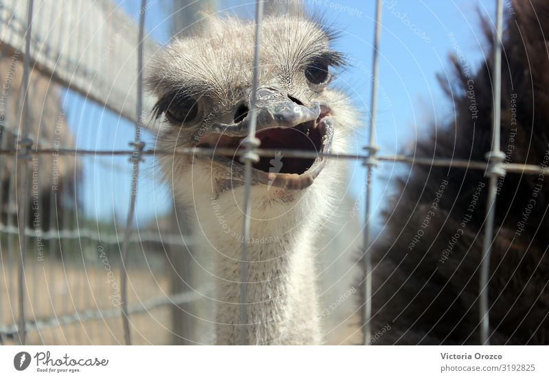 Smiling Ostrich Animal 1 Feeding Colour photo Exterior shot Day Central perspective Animal portrait Looking into the camera