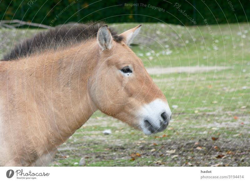 Przewalski horse (Equus ferus przewalskii) Animal Horse Brown Asian Wild Horse Mongolian Wild Horse archetype back breeding primal form Colour photo
