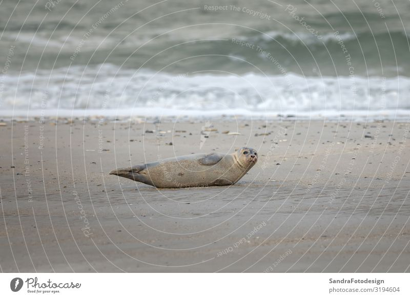 A grey seal lies on the beach on Helgoland Beach Waves Nature Animal Wild animal Baby animal tideland Animal Themes coast cute Dunes Europe Germany gray seal