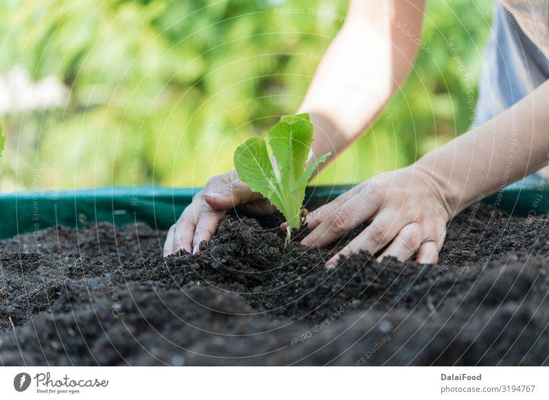 platation of organic lettuce in home Vegetable Nutrition Vegetarian diet Summer Nature Landscape Plant Leaf Growth Fresh Natural Blue Green agricultural