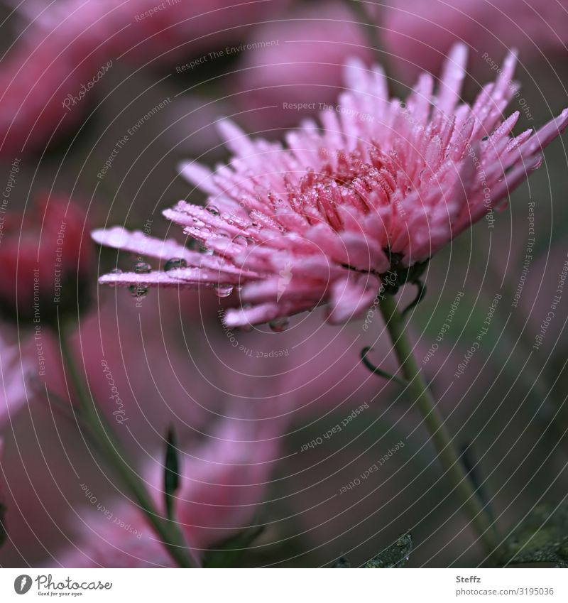 Aster in the rain Environment Nature Drops of water Autumn Weather Rain Plant Flower Blossom autumn flower Garden plants garden flowers Europe Blossoming Wet