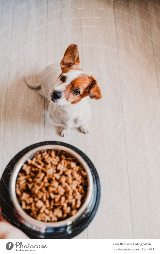 cute small jack russell dog at home waiting to eat his food in a bowl. Pets indoors Dog Food Jack Russell terrier Bowl Home Appetite Day To feed Eating Wait Sit