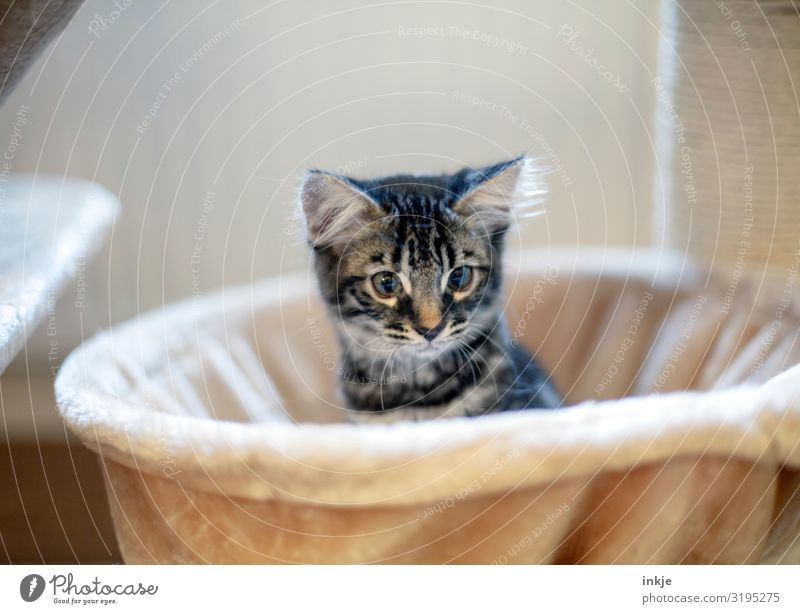 kitten Living or residing Animal Pet Cat Animal face 1 Baby animal Crouch Looking Cuddly Curiosity Cute Warmth Soft Tousled Colour photo Interior shot Close-up