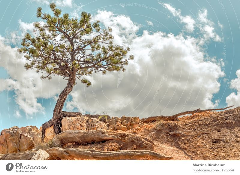 Survivor - single tree clinging to rocks at Bryce Canyon, Utah Vacation & Travel Environment Nature Landscape Plant Sand Sky Tree Park Rock Stone Might Brave