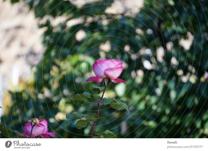 roses Vacation & Travel Mountain Hiking Nature Landscape Plant Animal Flower Rose Leaf Blossom Garden Blossoming Fragrance Beautiful Green Pink Environment