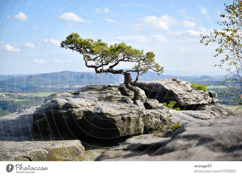Pine formed by the wind on the Lilienstein Autumn Liliesstein Storm Pine Saxon Switzerland Wind Jawbone Rock Ledge Mountain Elbsandstone mountains Landscape
