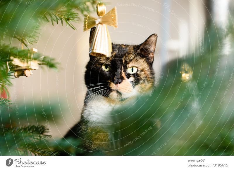 Susi the Christmas cat Christmas & Advent Animal Pet Cat 1 Angel Looking Wait Brown Multicoloured Gold Green Love of animals Christmas tree