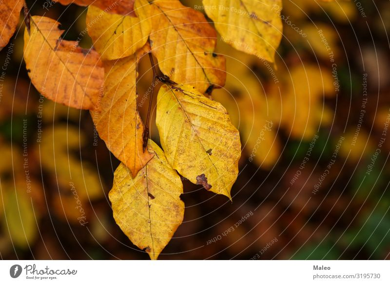 Yellow autumn leaves Autumn Background picture Beautiful Botany Bright Brown Colour Multicoloured Plant Leaf Forest Gold Nature November October Park