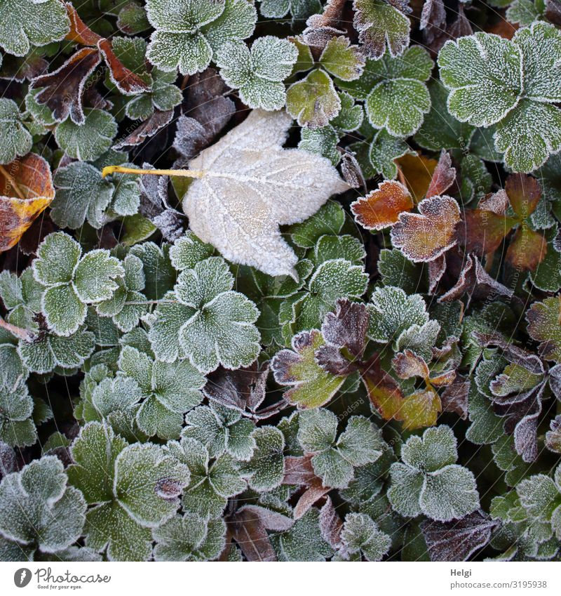 Rime on different leaves in autumn Environment Nature Plant Autumn Ice Frost Leaf Foliage plant Park Freeze Lie To dry up Growth Esthetic Authentic Exceptional