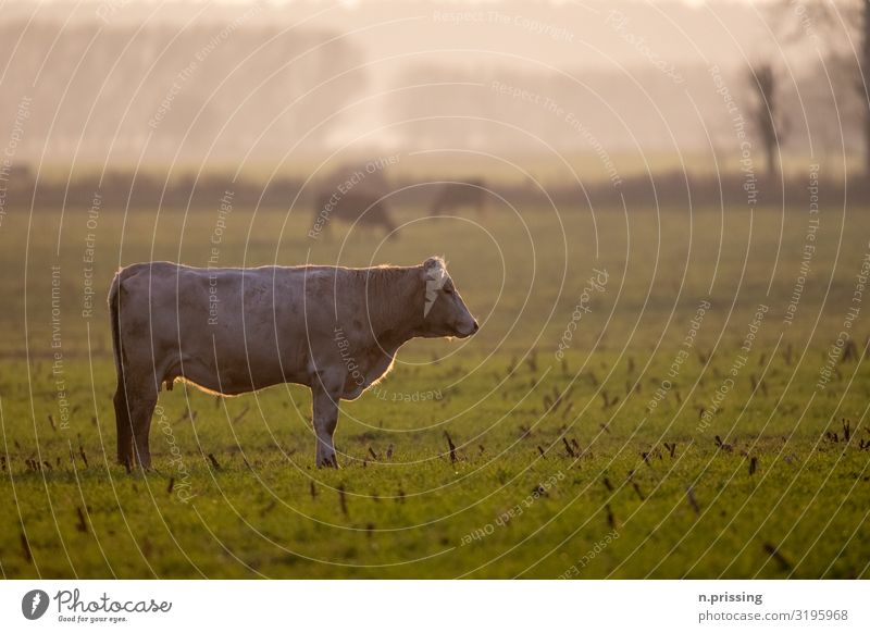 The cow life Nature Landscape Spring Autumn Grass Meadow Animal Farm animal Cow Bull 1 Stand Colour photo Exterior shot Copy Space right Copy Space top