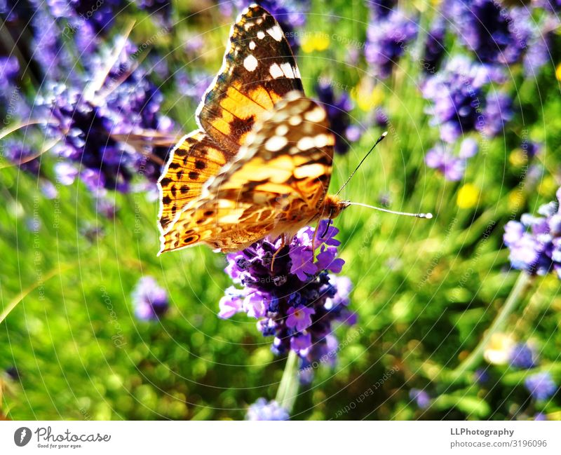 Lavender lovers Environment Animal Blossom Butterfly Wing 1 Discover Colour photo Detail Macro (Extreme close-up) Deserted Day Light Sunlight Sunbeam