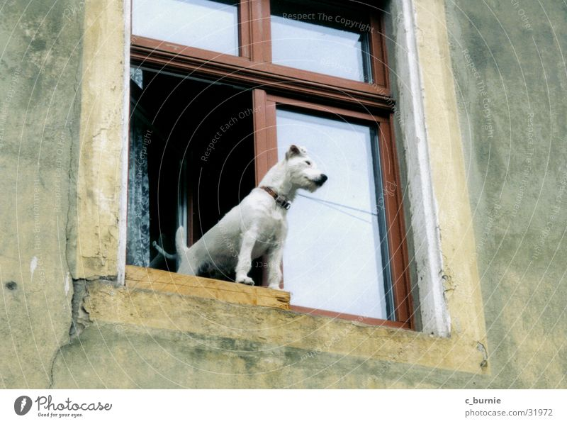 who let the dog out? Dog Window House (Residential Structure) White Neckband Wall (building) Dog collar