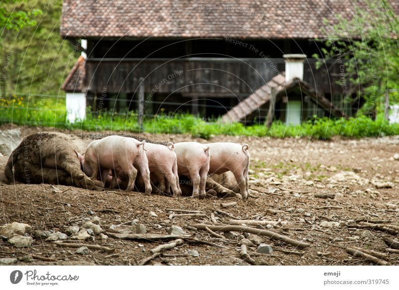 Piglet! Animal Farm animal 4 Group of animals Baby animal Animal family Dirty Natural Livestock breeding Colour photo Exterior shot Deserted Day Long shot