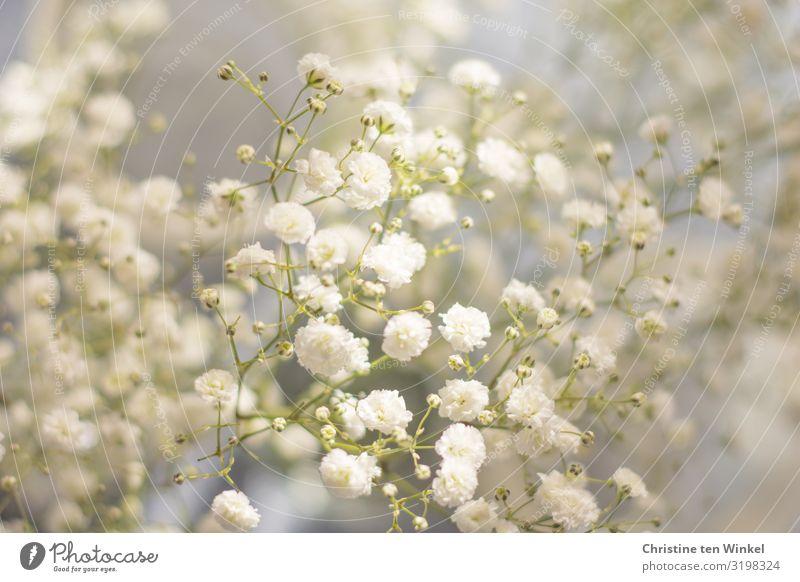 gypsophila Nature Plant Flower Blossom baby breath gysophila Baby's-breath Esthetic Exceptional Fragrance Elegant Happiness Fresh Bright Beautiful Near Natural