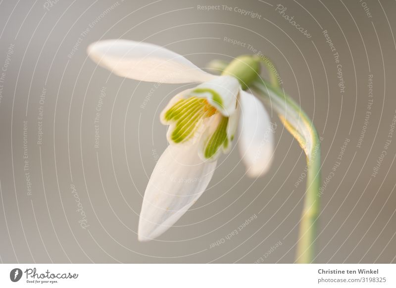 Snowdrop blossom in front of a neutral light background Nature Plant Flower Blossom winter flowering plants Esthetic Exceptional Elegant Fresh Beautiful Small