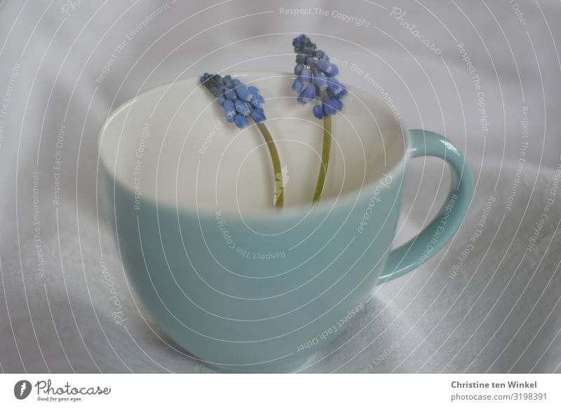 turquoise cup with two blue pearl hyacinths on a light fabric background Cup Mug Plant Flower Blossom Muscari Esthetic Exceptional Fragrance Happiness