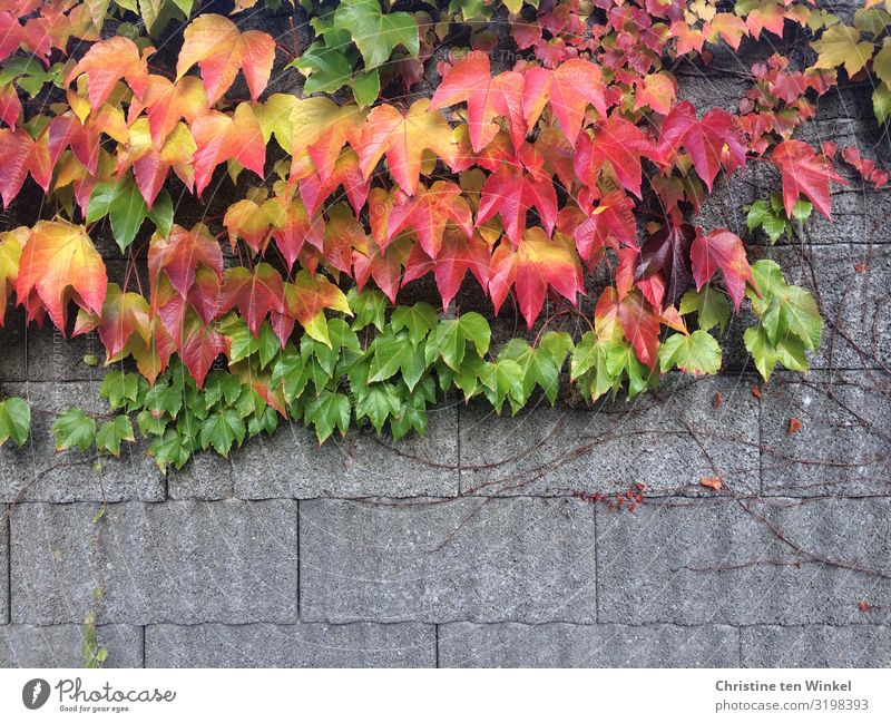 Wild wine on a wall Nature Autumn Plant Leaf Foliage plant Virginia Creeper Wall (barrier) Wall (building) Near Natural Beautiful Multicoloured Yellow Gray