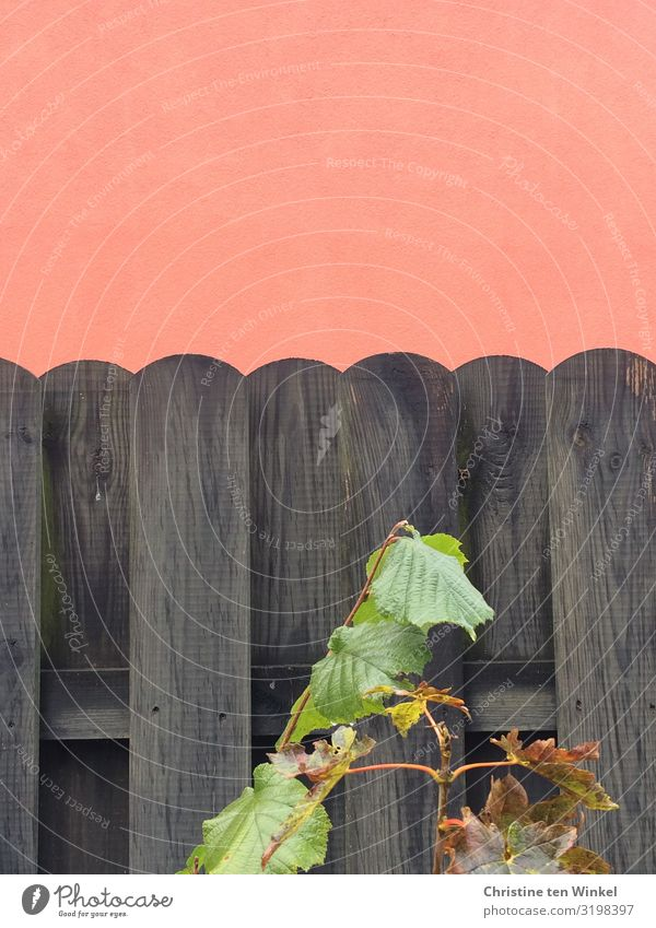Dark wooden fence in front of orange plastered wall Plant flaked Hazelnut leaf Wall (barrier) Wall (building) Fence Wooden fence Garden fence Near already Gray