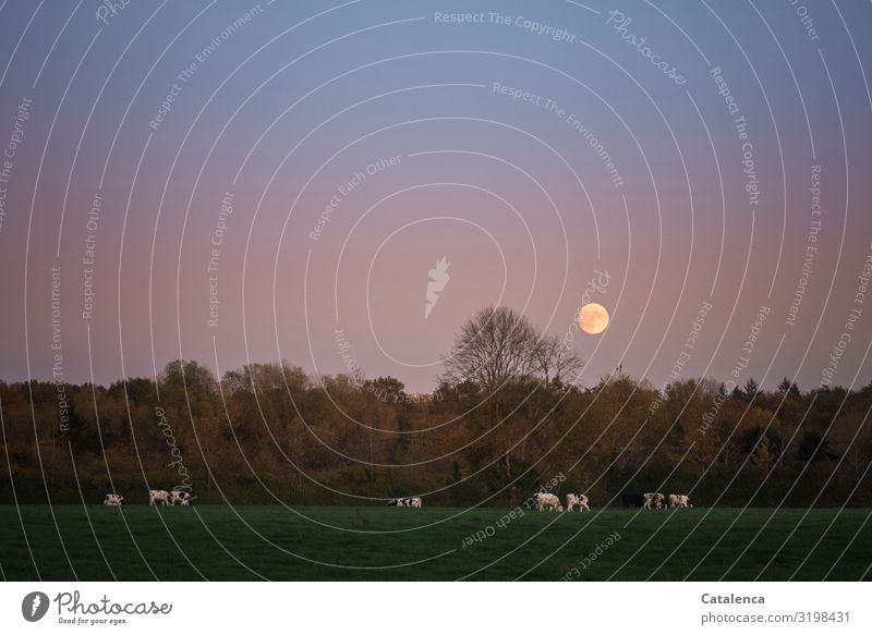 The moon has risen Nature Landscape Plant Animal Sky Cloudless sky Moon Full  moon Autumn Beautiful weather Tree Grass Meadow Forest Pasture Farm animal Cow