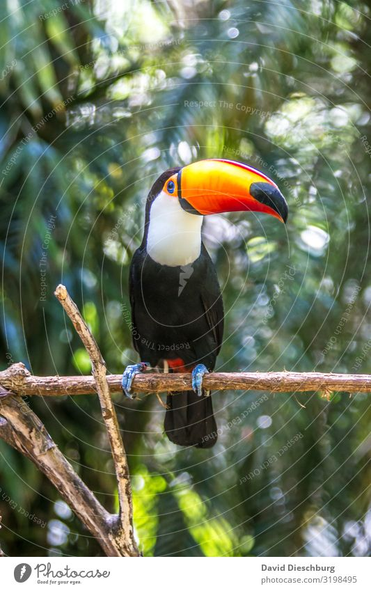 Giant Toucan Vacation & Travel Tourism Trip Expedition Nature Landscape Beautiful weather Virgin forest Wild animal Bird 1 Animal Exotic
