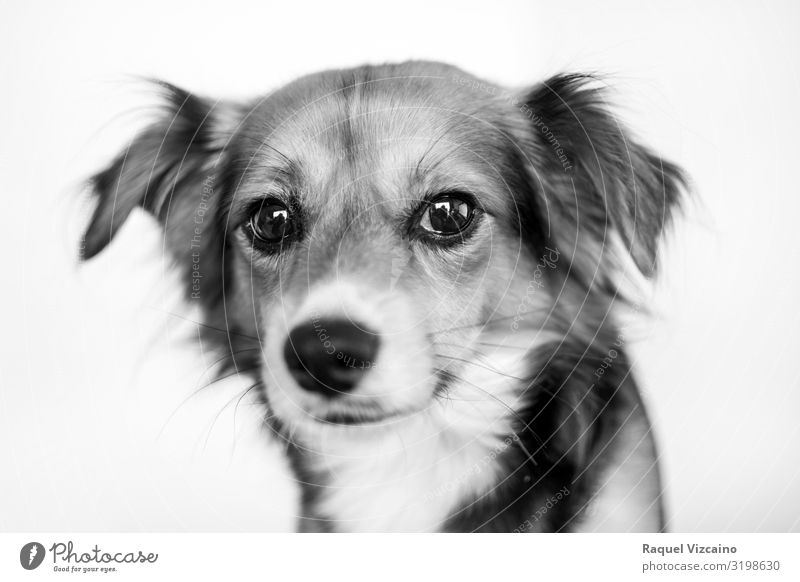 Black and white portrait of a dog. Animal Pet Dog 1 Sit Cute White border collie Collie Puppy isolated sheepdog Mammal australian shepherd white background