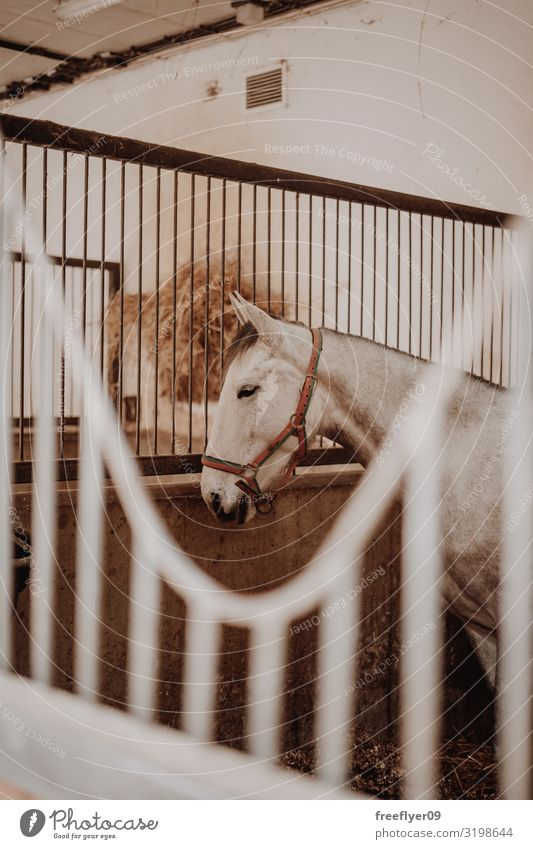White horse waiting on the stable Sports Animal Building Farm animal Horse 1 Wood Stable equestrian head row gate barn window Stall Ranch boarding harness