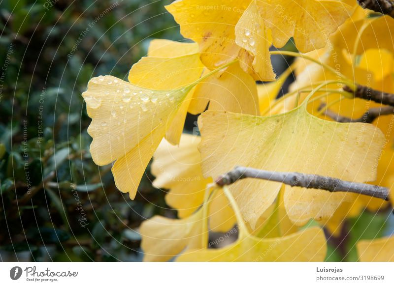 Yellow gingko leaves Environment Nature Plant Autumn Leaf Green Happiness Peace Hope Inspiration Colour photo Exterior shot Deserted Copy Space left Day