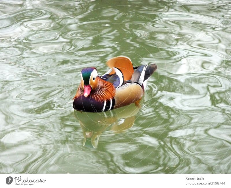 Mandarin Duck Environment Nature Landscape Animal Water Pond Wild animal Bird 1 Looking Swimming & Bathing Exotic Beautiful Wet Multicoloured Life Movement