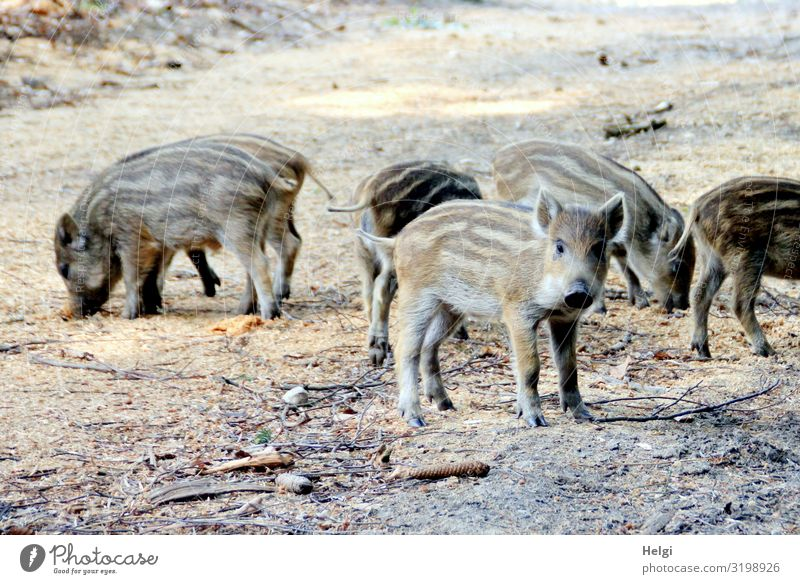 curious youngsters looking for food on a forest path Environment Nature Animal Earth Spring Beautiful weather Forest Wild animal Wild boar Young boar
