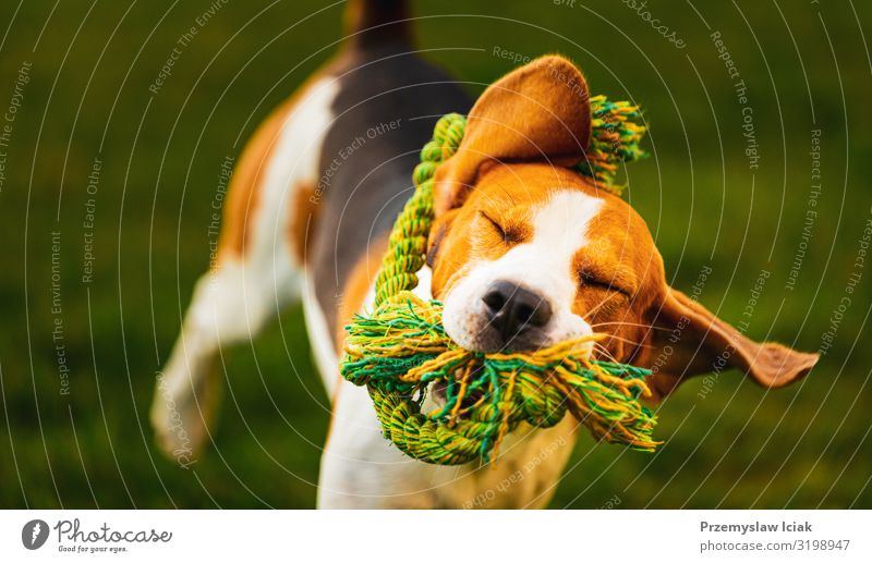 Beagle dog jumping and running with a toy towards the camera action beagle active activity agility animal athletic bring canine cute energy enjoyment excited