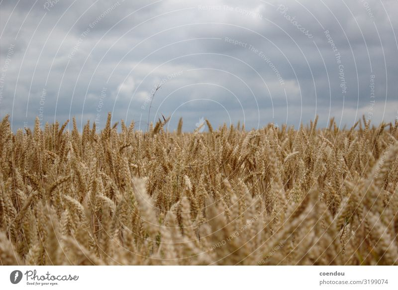 Grain field in front of grey clouds Food Dough Baked goods Bread Carbohydrates Nutrition Organic produce Vegetarian diet Healthy Eating Allergy Farmer
