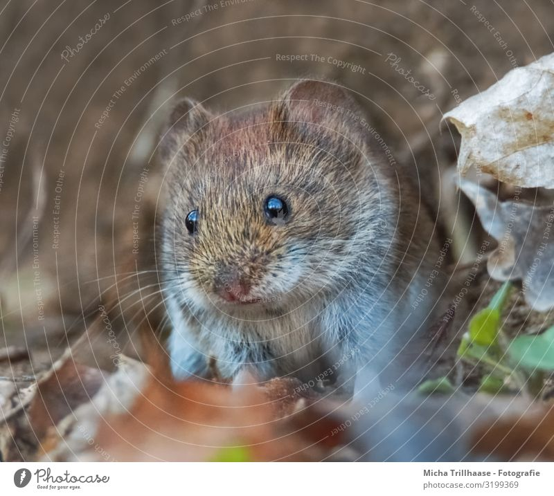 Mouse in the forest Nature Animal Sunlight Beautiful weather Leaf Autumn leaves Twigs and branches Forest Wild animal Animal face Pelt bank vole Eyes Ear Nose