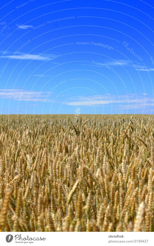 Cornfield with blue sky Food Grain Environment Nature Landscape Plant Air Sky Horizon Summer Agricultural crop Field Blossoming Fragrance Feeding Blue