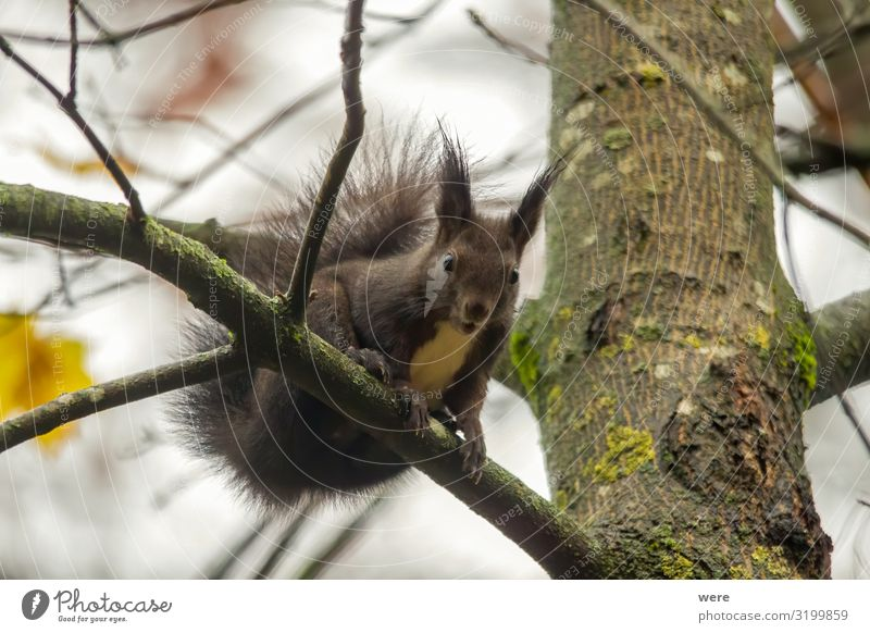 European brown squirrel in summer coat on a branch in the forest Nature 1 Animal Soft branches copy space cuddly cuddly soft cute european squirrel For